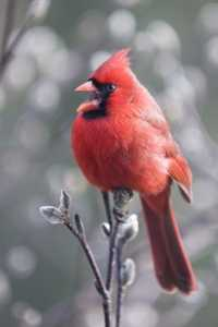A bright red male cardinal bird sitting on a branch