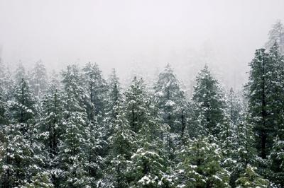 Tops of trees in an evergreen forest with a dusting of snow