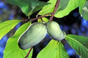 Two pawpaws on tree