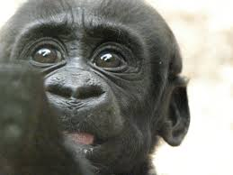 Face of a baby gorilla similar to Colo